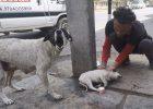 Бедная собака-мать плачет о раненом ребенке.