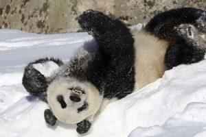 Гигантские панды радуются снегу