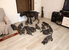 Кане-Корсо из Воронежа родила сразу 19 щенков